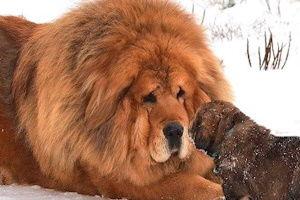 самые большие собаки в мире, какие их размеры